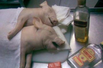 drag-pigs