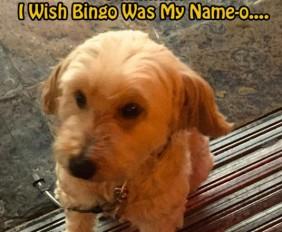 bingo-dog
