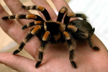 tarantula-featured