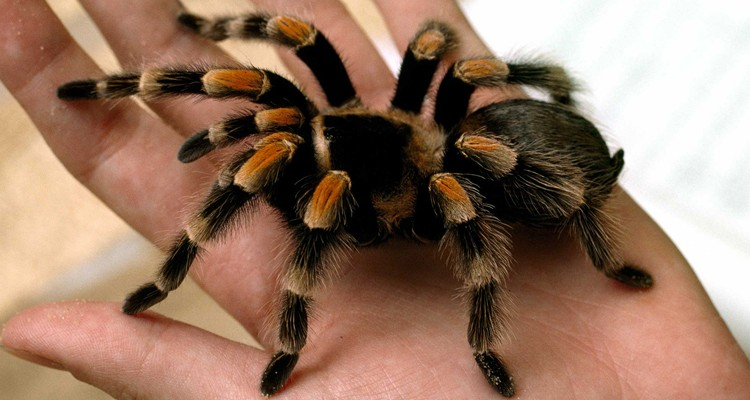 tarantula-featured